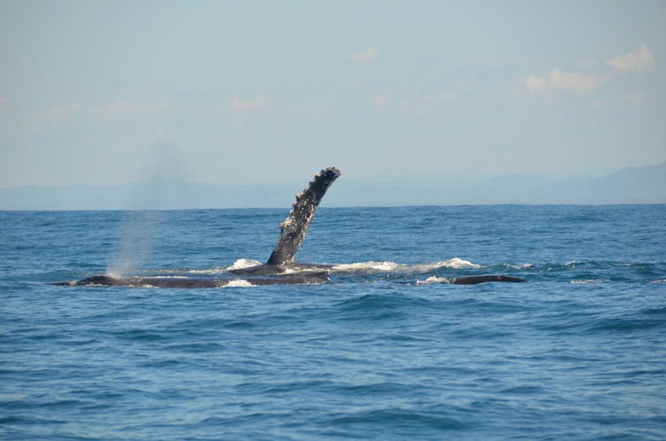 Le festival des baleines