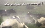 Crise sanitaire dans l'élevage à La Réunion