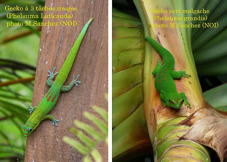 Sauvons le Gecko vert de Manapany et le Gecko vert de Bourbon