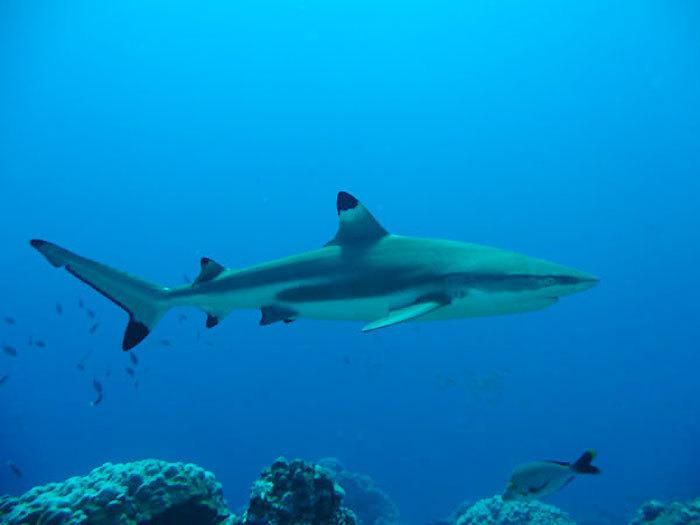 """Un biologiste marin cite La Réunion """"quand il parle des déchets humains qui attirent les requins…"""""""
