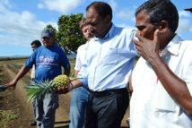 Saint-Leu : terre de prédilection pour l'ananas Victoria