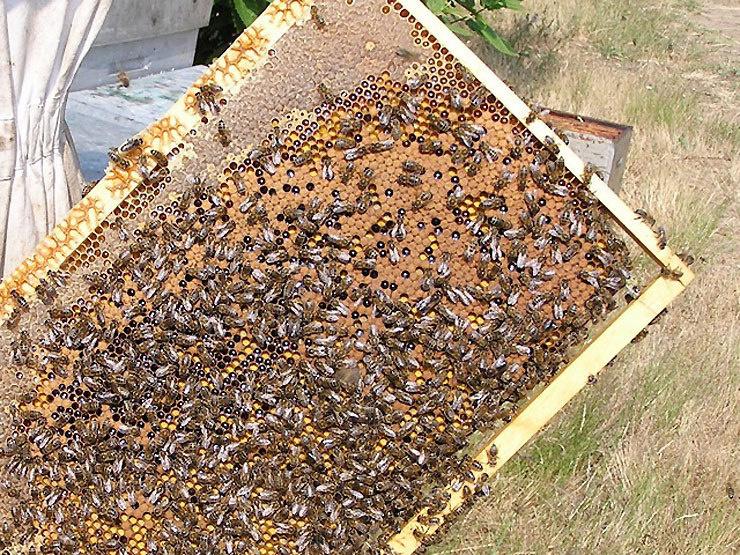Intoxication suite à la consommation de miel en gaufre à la Plaine des Cafres