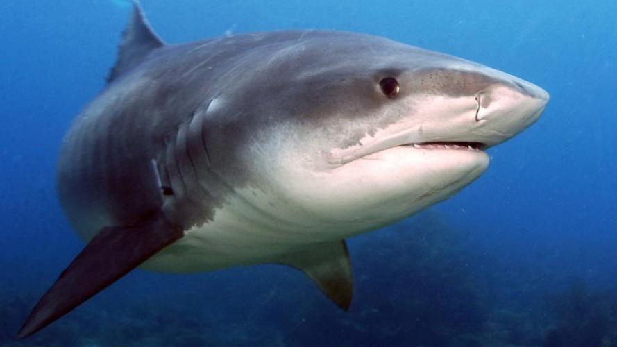 Bilan provisoire du dispositif post-attaque :  capture d'un requin tigre