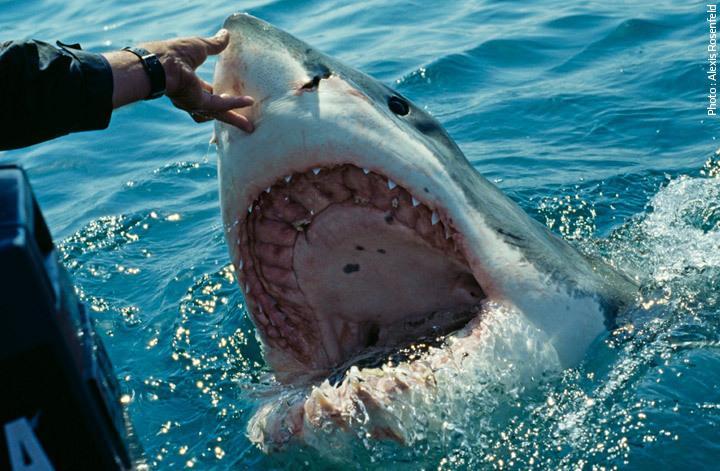Dispositif post-attaque : capture d'un requin bouledogue