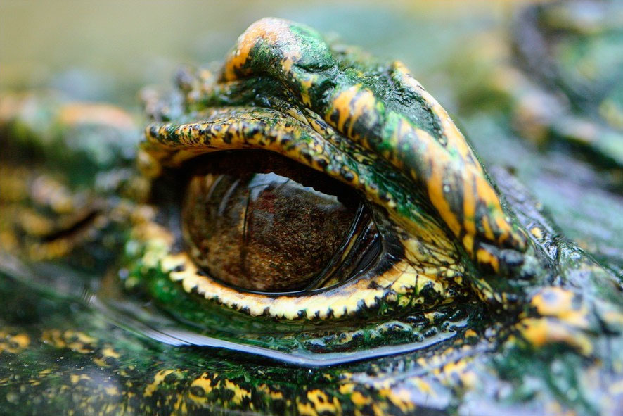 Larmes de crocodile - Fre-do de Vallence